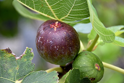 Brown Turkey Fig (Ficus carica 'Brown Turkey') at Woldhuis Farms Sunrise Greenhouses