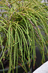 Whipcord Arborvitae (Thuja plicata 'Whipcord') at Woldhuis Farms Sunrise Greenhouses