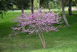 Minnesota Strain Redbud (Cercis canadensis 'Minnesota Strain') at Woldhuis Farms Sunrise Greenhouses
