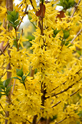 Gold Cluster Forsythia (Forsythia x intermedia 'Courtaneur') at Woldhuis Farms Sunrise Greenhouses
