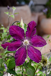 Westerplatte Clematis (Clematis 'Westerplatte') at Woldhuis Farms Sunrise Greenhouses