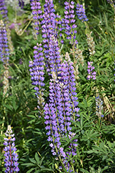 Wild Lupine (Lupinus perennis) at Woldhuis Farms Sunrise Greenhouses