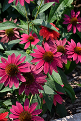 Sombrero® Tres Amigos Coneflower (Echinacea 'Balsomtresgo') at Woldhuis Farms Sunrise Greenhouses