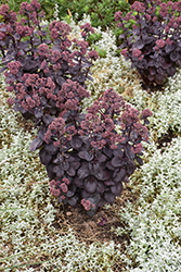 Night Embers Stonecrop (Sedum 'Night Embers') at Woldhuis Farms Sunrise Greenhouses
