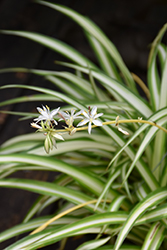 Spider Plant (Chlorophytum comosum) at Woldhuis Farms Sunrise Greenhouses