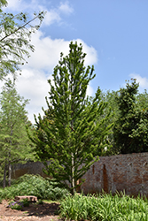 Peve Minaret Baldcypress (Taxodium distichum 'Peve Minaret') at Woldhuis Farms Sunrise Greenhouses
