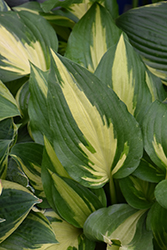 Christmas Candy Hosta (Hosta 'Christmas Candy') at Woldhuis Farms Sunrise Greenhouses