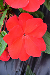 Divine™ Red New Guinea Impatiens (Impatiens hawkeri 'Divine Red') at Woldhuis Farms Sunrise Greenhouses