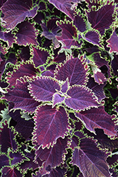 ColorBlaze® Wicked Witch™ Coleus (Solenostemon scutellarioides 'Wicked Witch') at Woldhuis Farms Sunrise Greenhouses